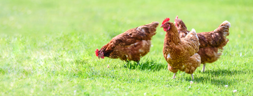 Counting your chickens…? Organic, fixed weight, eco packs we have them all.